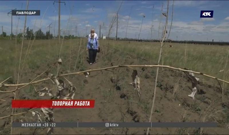 В Павлодаре засохли около 14 тысяч тополей