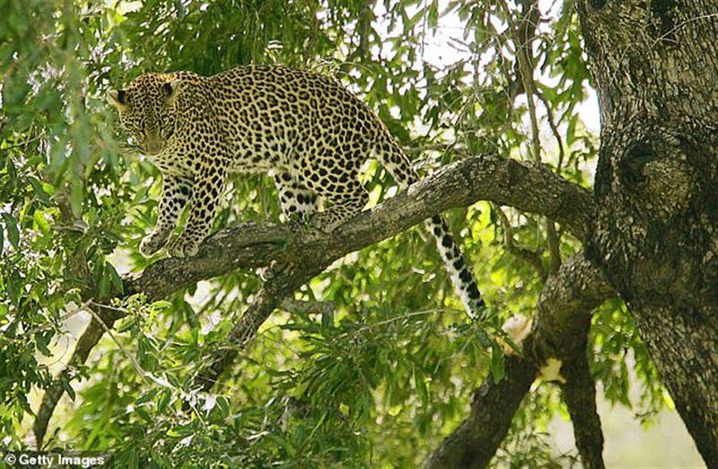 Леопард екі жастағы баланы талап тастаған