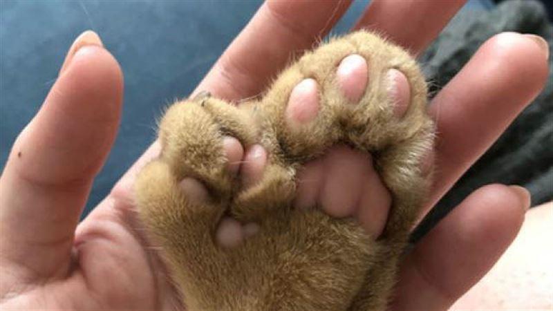 Котик-мутант поразил сеть лишними пальцами на лапках