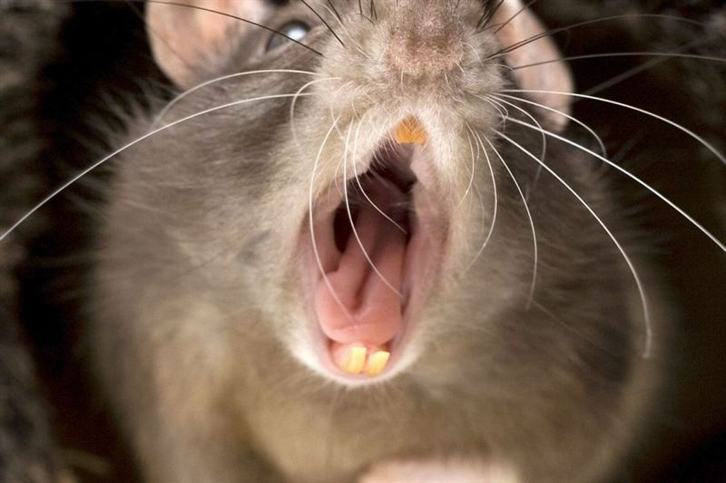 Крысы нападают на домашнюю птицу на окраинах Шымкента