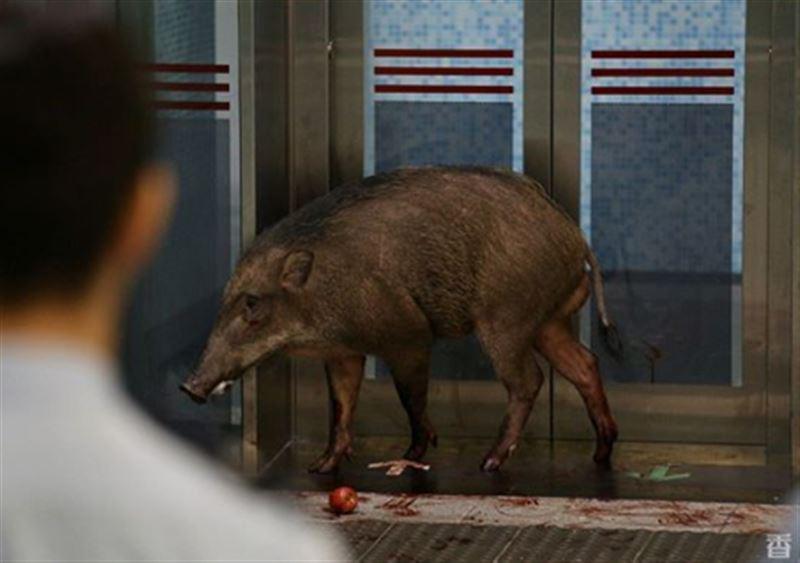 Дикий кабан напал на женщину в китайском метро