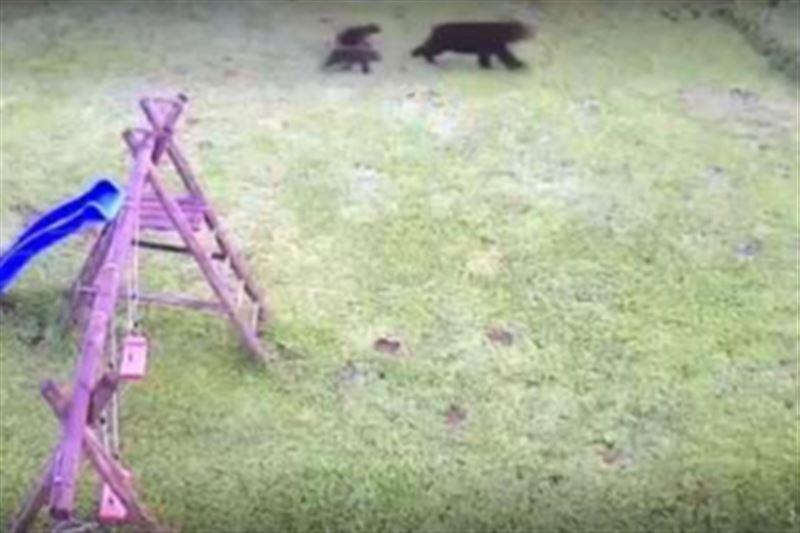 Медведица с детенышами напала на пенсионерку возле ее дома