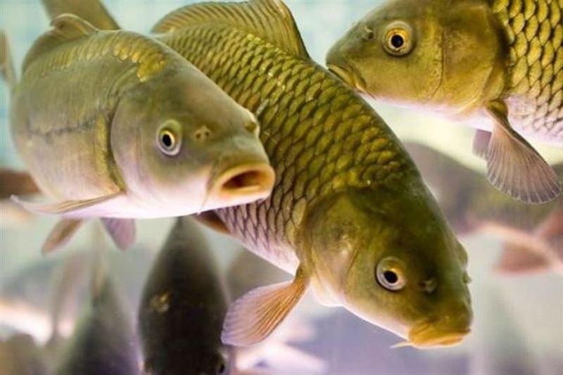 Мужчина случайно съел живую рыбу и умер