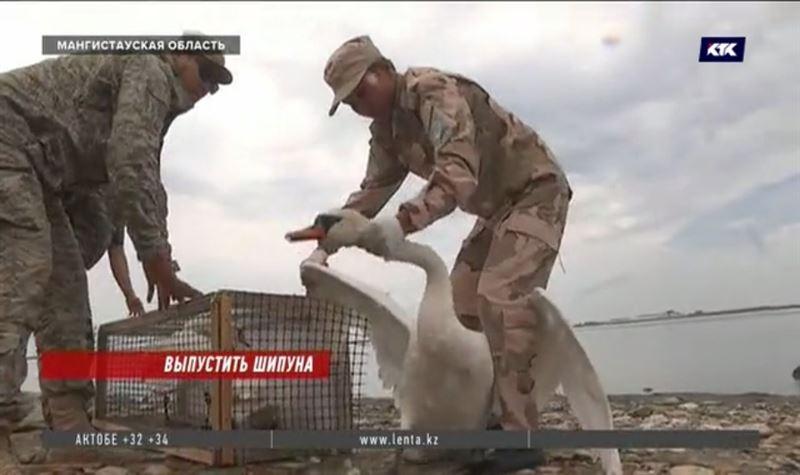 Обессилевших от жары лебедей спасали в Мангистау