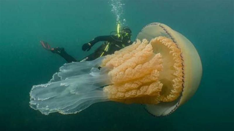 Обнаружена чудовищная медуза размером с человека