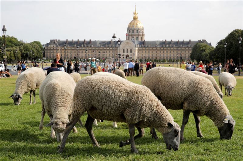 Овцы на улицах Парижа удивили туристов