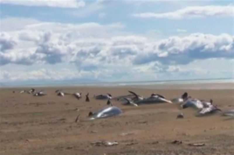 Около полусотни мертвых дельфинов выбросило на берег Исландии