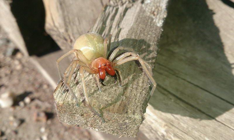 Редкий ядовитый паук напугал сельчан в ЗКО