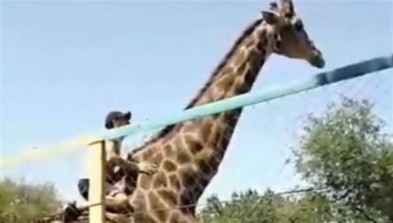 Посетитель шымкентского зоопарка пытался покататься на жирафе