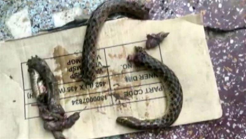 Пьяный индиец загрыз змею, которая его укусила