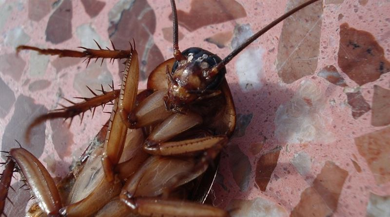 Учёный объяснил, почему люди не смогут избавиться от тараканов