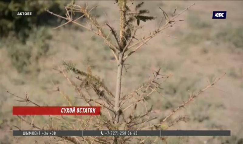Высаженные два года назад сосны в Актобе засохли из-за отсутствия полива