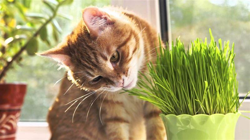 Стала известна причина, по которой кошки едят траву