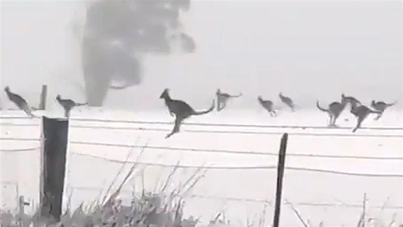 Выпавший впервые за 35 лет в Австралии снег шокировал кенгуру