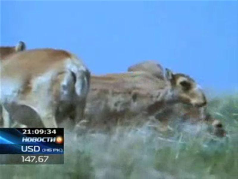 Количество погибших в Костанайской области сайгаков увеличивается