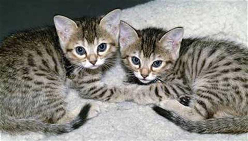 Продавать клонированных котов планируют в Китае