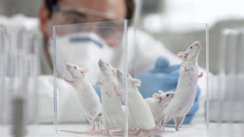 Исследователи нашли у мышей новый рецептор боли