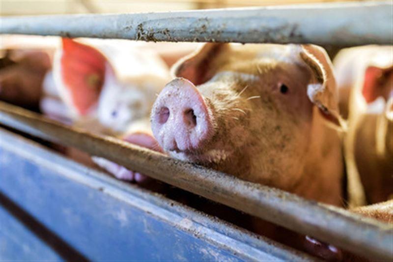 В течение трех лет человеку могут пересадить свиное сердце