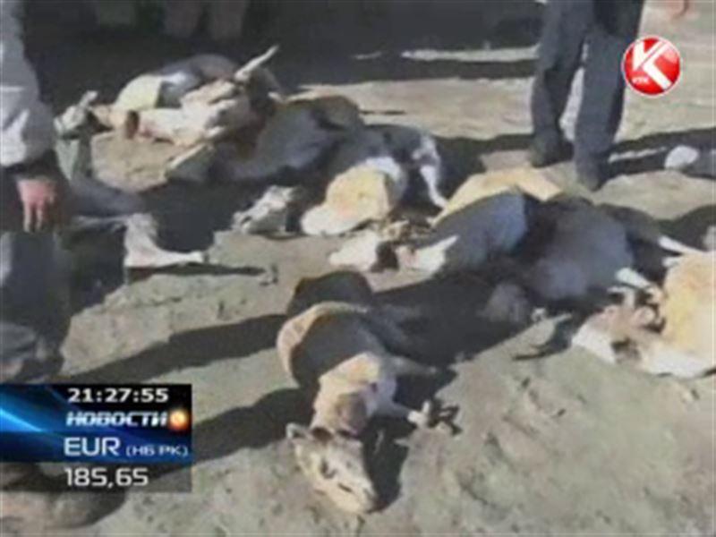 В Астане обнародовали официальные причины смерти сайгаков в Костанайской области