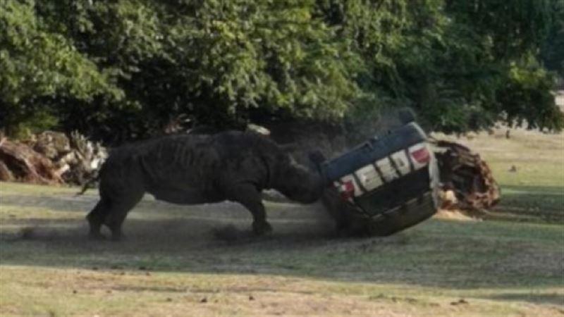 Разъяренный носорог перевернул автомобиль смотрительницы