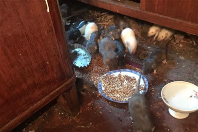 У пенсионерки в квартире обитают сотни крыс