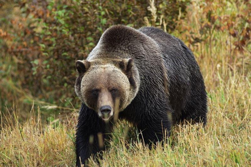 Житель Югры испугался медведя и сбежал, бросив супругу на съедение