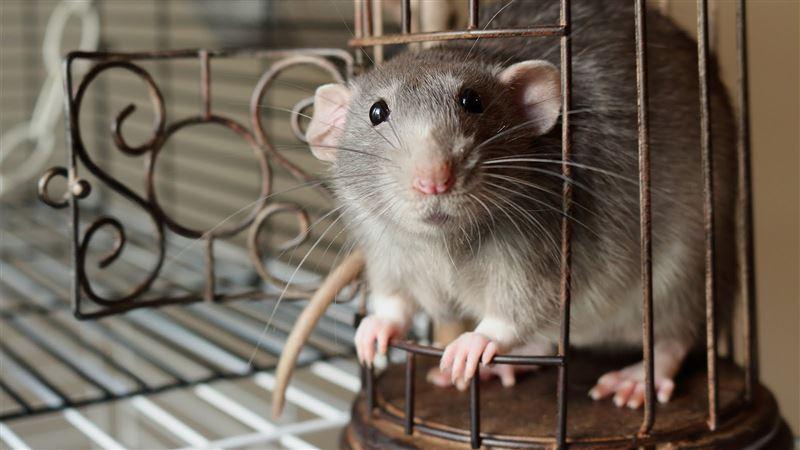 Ученые выяснили, что крысы играют ради удовольствия