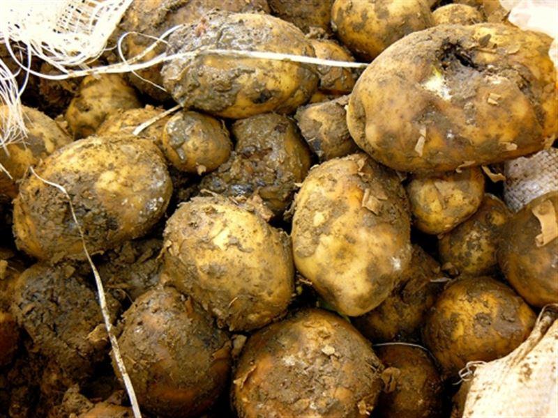4 адам шіріген картоптан көз жұмды