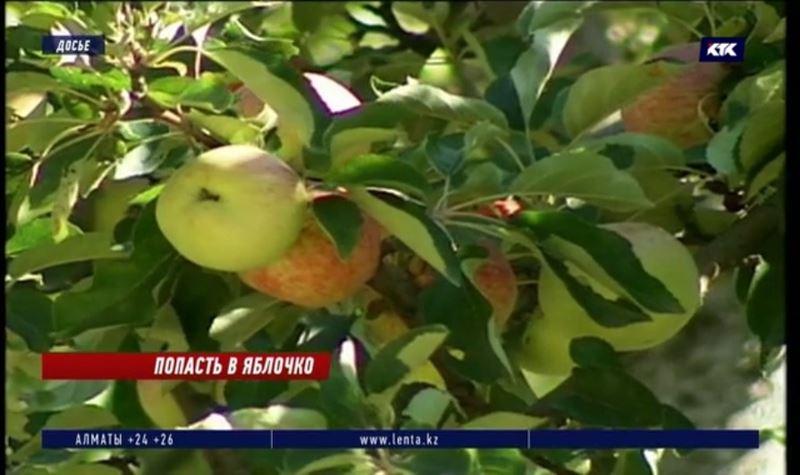 Прародителя всех яблок пытаются спасти в Казахстане
