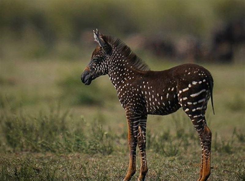 Пятнистая зебра родилась в Кении