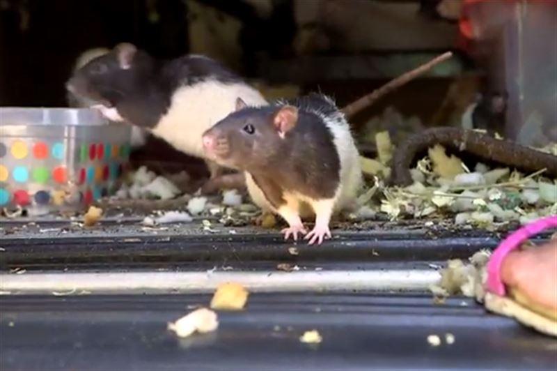 Женщина завела двух крыс, которых вскоре стало более 300
