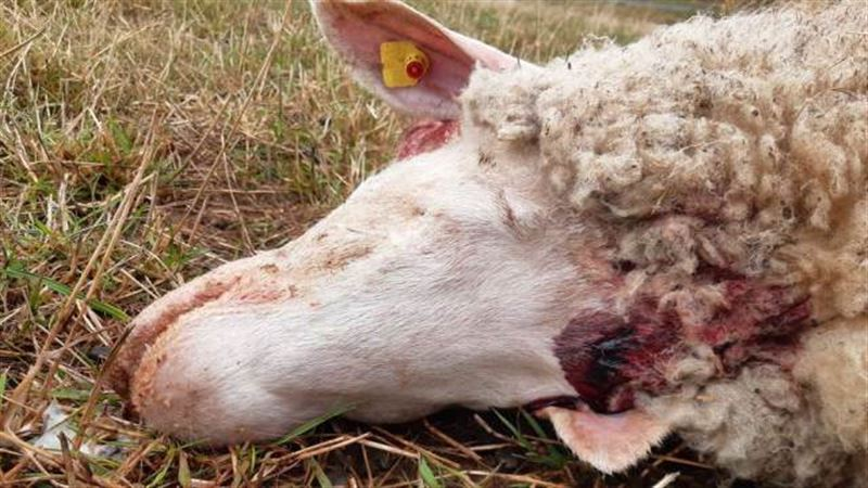 В двух деревнях Германии неизвестное существо растерзало гусей и овец