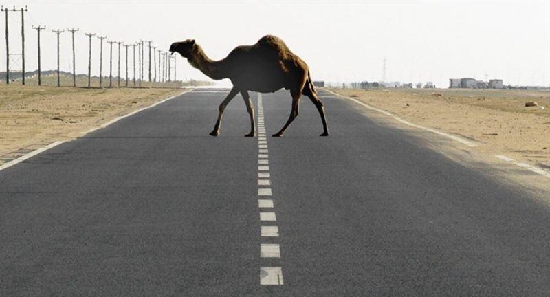 Мальчик погиб в результате ДТП с верблюдом