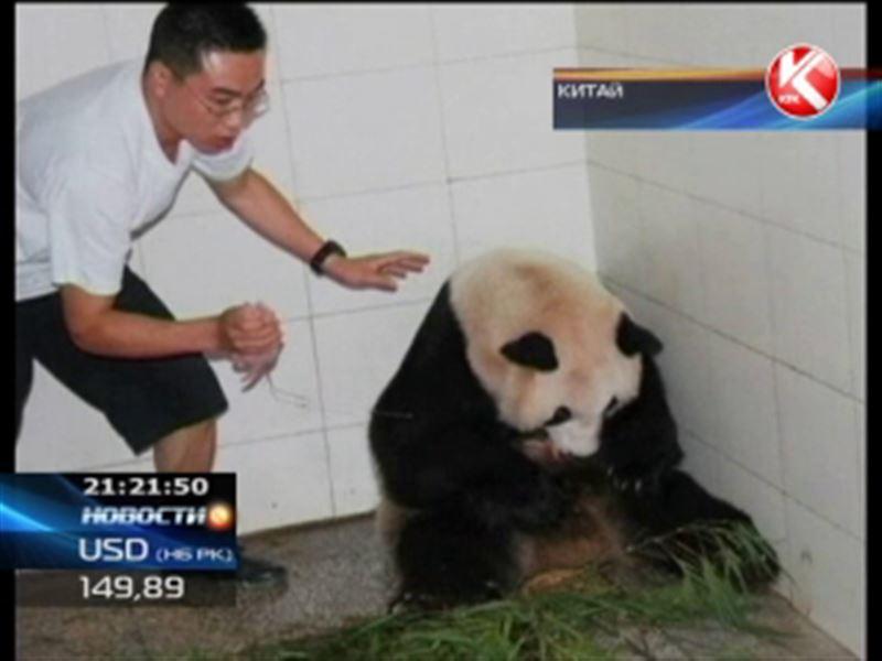 В Китае родились первые в этом году малыши панды
