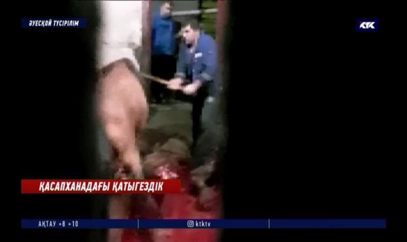 Атырау: Қасапшылар малдың басын балтамен ұрып, қинап өлтіруді дағдыға айналдырған