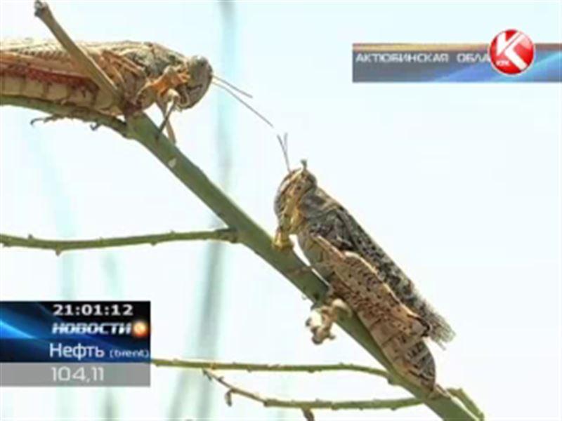 На западе страны саранча уничтожает сотни гектаров урожая