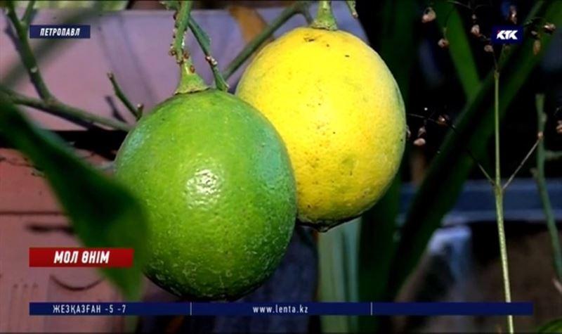Бір лимон – бір келі! Қызылжардың аязында тропикалық жемістер мол өнім беруде