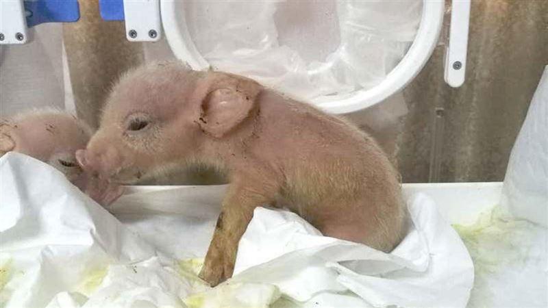 Свинки-обезьяны появились на свет в Китае