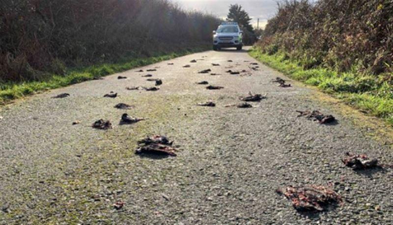 Множество мертвых птиц свалилось на дорогу в Великобритании