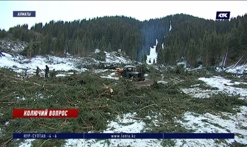 Вырубка елей в Алматы: активисты обвиняют нацпарк, нацпарк – грибок