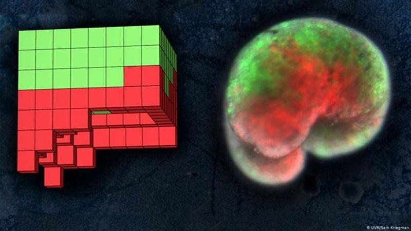 Исследователи создали первых роботов из живых клеток