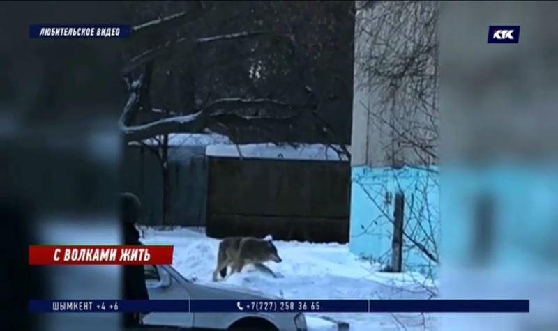 «Я боюсь за детей»: волки средь бела дня гуляют по Аксу