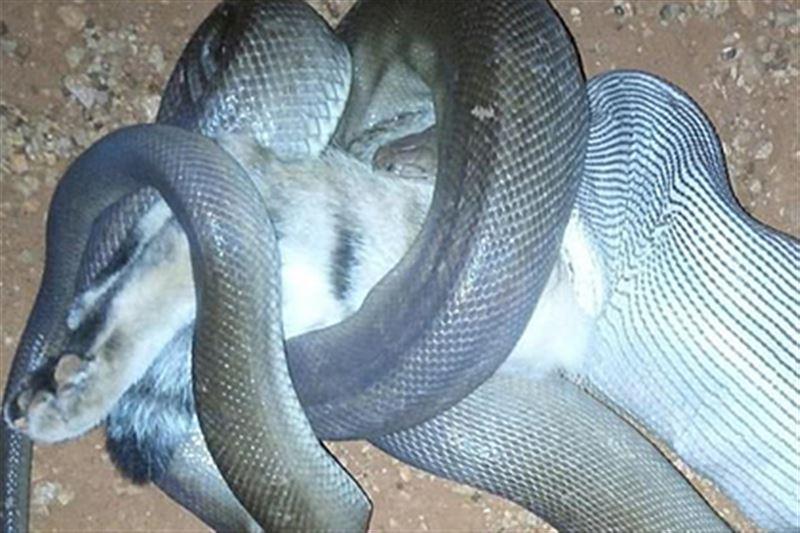 Питон проглотил кота на глазах у австралийки