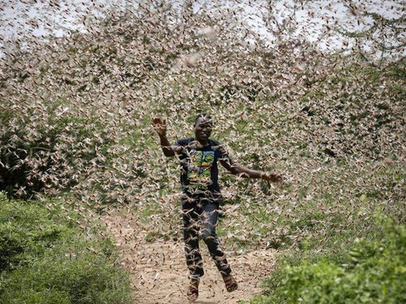 В Африке растет паника из-за нашествия саранчи, сообщили СМИ