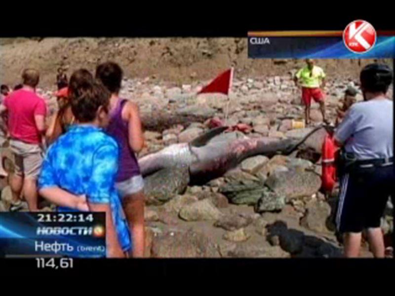 На пляж Род-Айленда выбросило гигантскую белую акулу