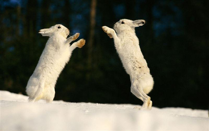 Драку зайцев в нацпарке ВКО сняли на видео