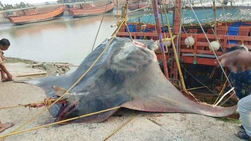 Редкую рыбу весом 900 кг поймали в Индии