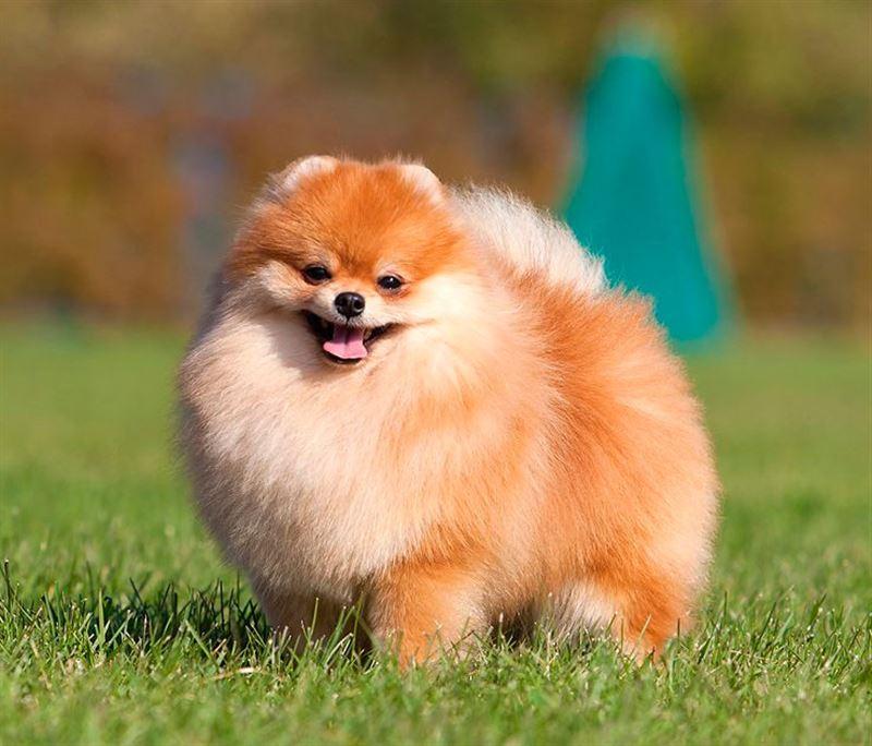 Собака заразилась коронавирусом от хозяйки