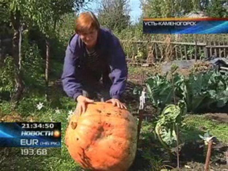 В Усть-Каменогорске выросла гигантская тыква!
