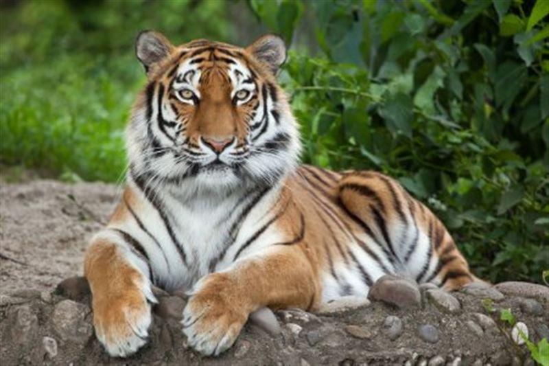 Тигрица заразилась коронавирусом в зоопарке Нью-Йорка